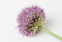 Blooming Purple Allium, onion flower isolated on a white Stock Images