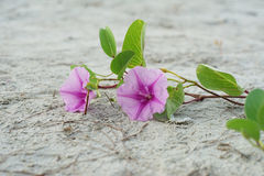 Blooming purple Beach Morning Glory Stock Image
