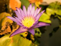 The blooming purple beautiful lotus flower stock photography