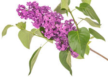 Blooming purple branch. Lilac branch isolated on white background Stock Photo