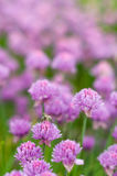 Blooming purple bulb onion in the spring time in the garden Royalty Free Stock Images