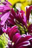 Purple chrysanthemum Stock Photo