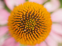 Free Blooming Purple Coneflower Stock Image - 57470761