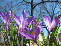Blooming purple crocus. Royalty Free Stock Photo