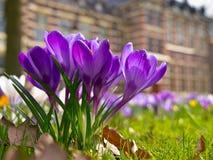 Blooming purple crocus Royalty Free Stock Images