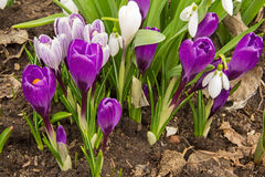 Blooming purple crocus flower in the early spring. Stock Images