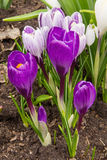 Blooming purple crocus flower in the early spring. Royalty Free Stock Photo
