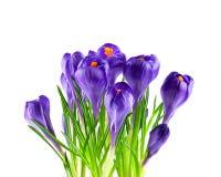Blooming purple crocuses Royalty Free Stock Images