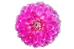Blooming purple dahlia flower  isolated on white background Royalty Free Stock Images