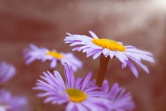 Blooming purple daisies Stock Photography