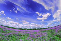 Blooming purple field under numerous clouds Stock Photos