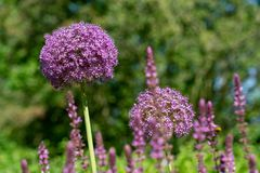 Blooming purple flower balls of a Allium Giganteum giant onion plant stock photography