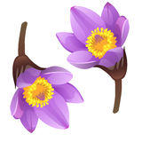 Blooming purple flower bud on white background Royalty Free Stock Images