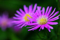 Blooming purple flowers Royalty Free Stock Image