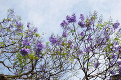 Blooming with purple flowers Jacaranda tree branches against blu. E-white sky Royalty Free Stock Photography