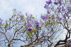 Blooming with purple flowers Jacaranda tree branches against blu. E-white sky Royalty Free Stock Photo