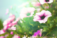 Blooming purple hanging petunias in the summer Stock Image