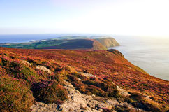 Blooming Purple Heather, Cliffs and Sea. Isle of Man Stock Photography