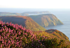 Blooming Purple Heather, Cliffs and Sea. Isle of Man Royalty Free Stock Photos