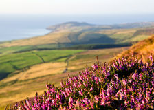 Blooming Purple Heather, Fields, sea. Isle of Man Stock Photography