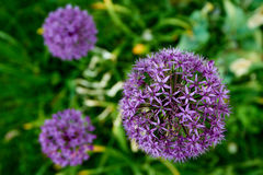 blooming purple illium flower Royalty Free Stock Photos