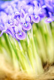 Blooming purple iris reticulata Harmony Stock Images