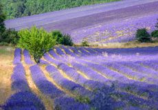 Blooming lavender fields in Provence, France Stock Photography