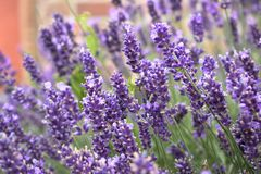 Blooming purple lavender flowers. Beautiful bush with violet lavender flowers Royalty Free Stock Photography