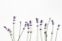 Blooming purple lavender flowers isolated on white table background. Decorative floral frame, web banner with Lavandula stock photography