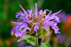 Blooming Purple Lavender Horsemint Flower, Bee Balm, Oswego Tea, Stock Images
