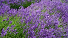 Blooming purple lavender plant in Lavender farm, New Zealand. Beautiful blooming purple lavender plant in Lavender farm, New Zealand stock photography