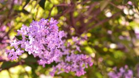 Blooming purple lilac Bush Stock Images