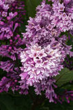 Blooming Purple Lilac Royalty Free Stock Images