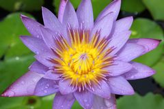 Blooming purple lotus Royalty Free Stock Image