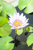 Blooming purple lotus flower Stock Photography