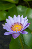 Blooming purple lotus. In the pond Stock Photography