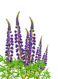 Blooming purple lupine / isolated /. Beauty of nature in details Stock Images