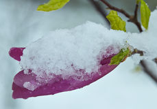 Blooming purple Magnolia flower under the snow. Stock Photo