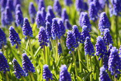 Blooming purple Muscari (Grape Hyacinth) Royalty Free Stock Photo