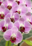 Blooming purple orchid Stock Images