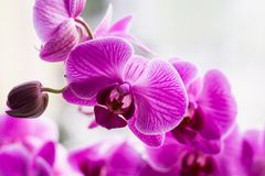 Blooming Purple Orchid close up. Flower close up. Blurred background Royalty Free Stock Image