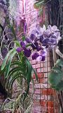 Blooming purple orchid. Stock Photos