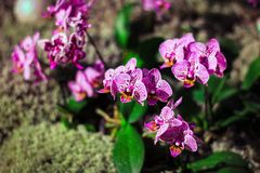 Blooming purple orchids in blossom garden. Spring flowers on floral background. Royalty Free Stock Image