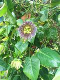 Blooming Purple Passionflower Vines in the Forest. Close-up of a blooming passionflower vine, vivid violet color, surrounded by green leaves. The Passiflora royalty free stock photography