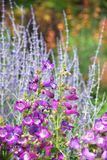 Penstemon and Russian Sage in the garden stock image