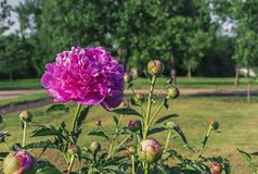 Blooming purple peony. Violet peony in the city garden royalty free stock image