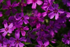 Blooming purple Phlox subulata Royalty Free Stock Images