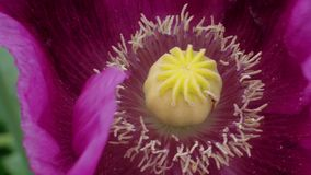 Blooming purple poppy flower close-up with riping capsule. Blooming purple poppy flower close-up with maturing capsule, quivering petals under blowing wind stock video
