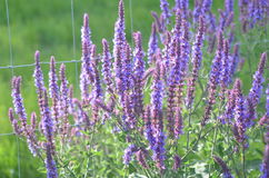 Blooming purple sage. Purple flowers of wild sage Salvia deserta Royalty Free Stock Photography
