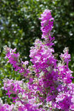 Blooming Purple Sage. Leucophyllum frutescens is an evergreen shrub, native to Texas and northern Mexico. The plant goes by many popular names, such as: Texas Royalty Free Stock Photo